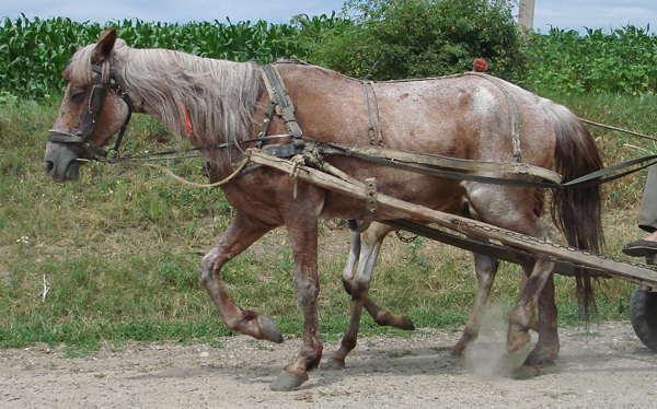 Rabicano Horse
