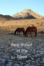 Rare Horse Breed of the Week