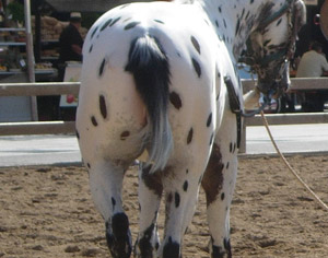 Appaloosa Rat Tail