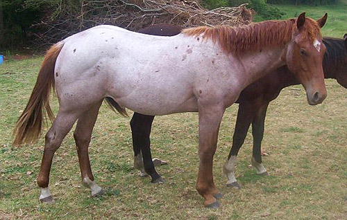 Horses Lovers: Roan White Pattern - photo#16