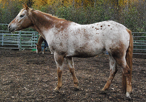 Red Roan vs. Strawberry Roan.... - The Horse Forum - photo#24