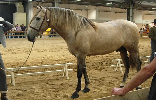 Rose Grey Horse