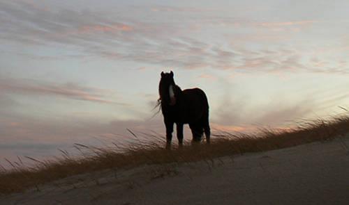 Sable Island Horse