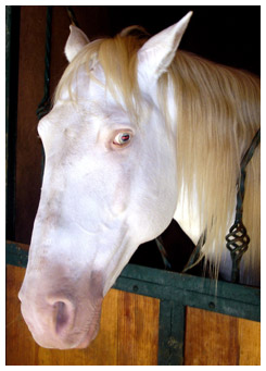 White, blue eyed horse