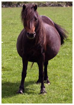 A very pregnant pony