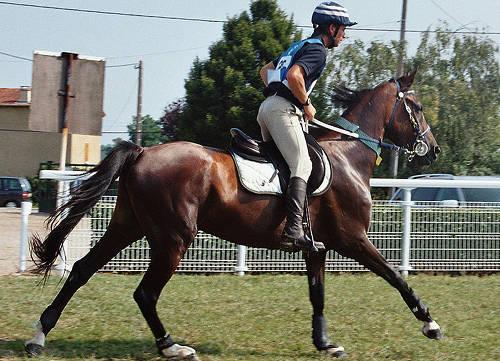 Shagya Arabian Horse