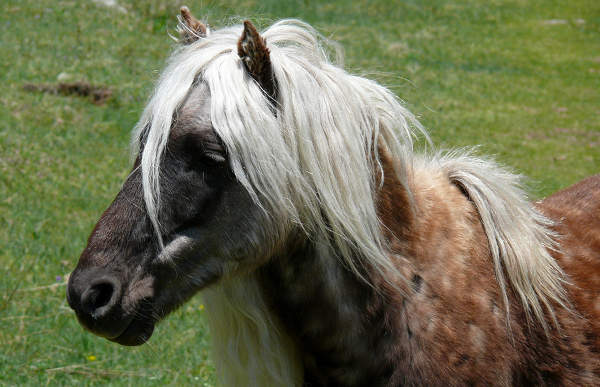 Silver Horse Coat Color Dilution Gene The Equinest