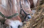 Horse Feeding
