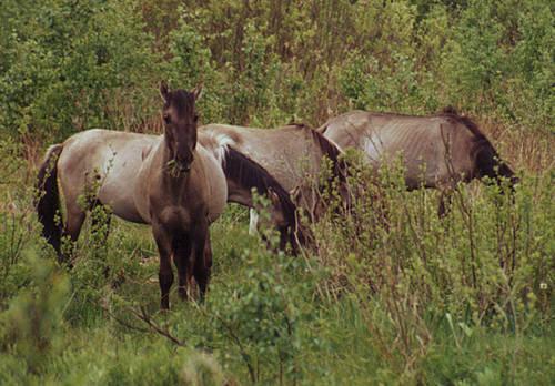 Tarpan Horse