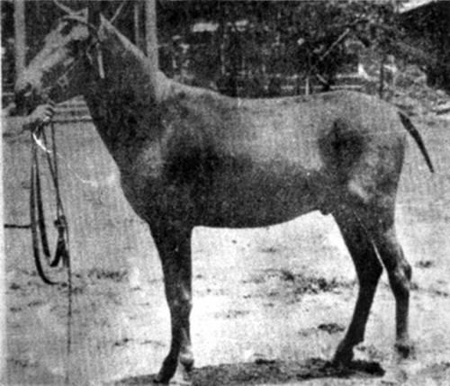 Tokara Pony