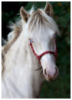 Horse with blue eyes