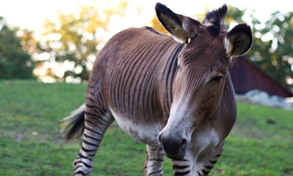 Zebra + esel = zedonk, esel fikk avkom med striper på beina! thumbnail
